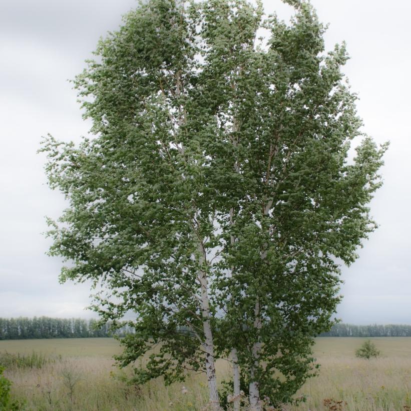 silver-birches